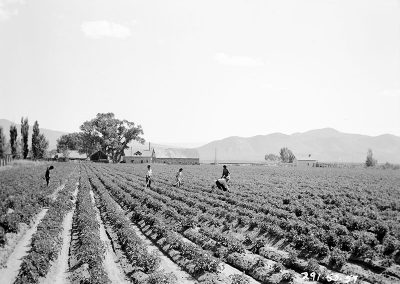 Black and white photo of figures working along rows of growing plants in an open field with a building and low mountains in the background